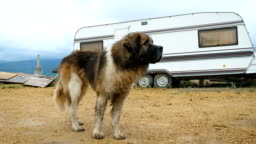 A dog is standing next to a caravan.
