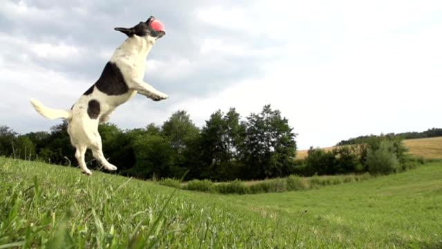 - SUPER ZEITLUPE, HD: Dog Jumping für einen Ball