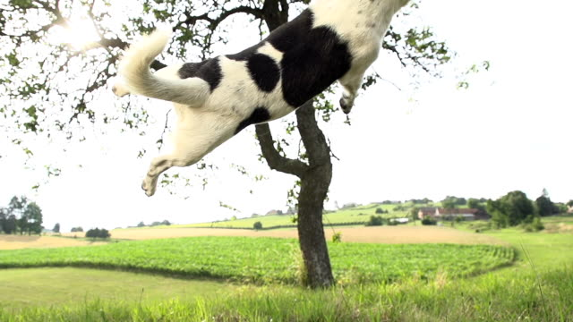 stockvideo's en b-roll-footage met hd super slow-mo: dog jumping for a ball - dierentrucs