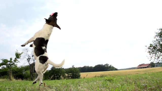 vídeos de stock, filmes e b-roll de super câmera hd-seg: cão saltar para a bola - pegar