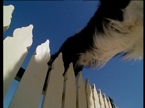 dog jumps over white picket fence landing on green lawn - border collie stock videos & royalty-free footage