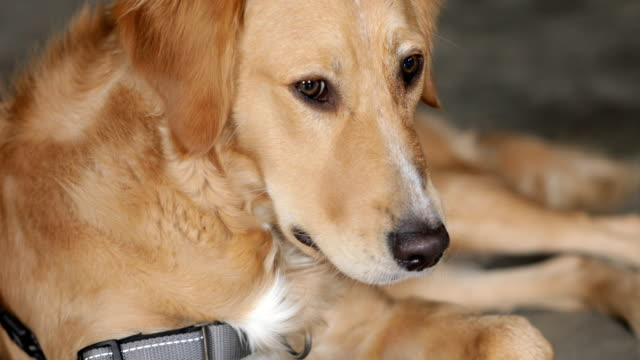 dog laying down - golden retriever stock videos and b-roll footage