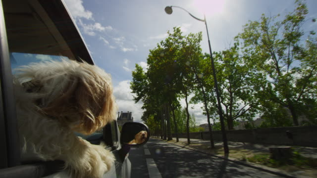 vídeos de stock e filmes b-roll de cu dog leans out of car driving through streets of paris - fotografia da cabeça