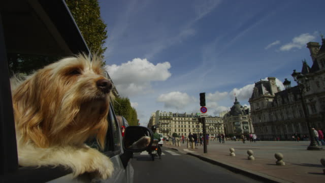 CU dog leans out of car driving through streets of Paris