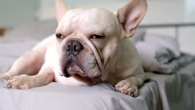 dog life : close up to french bulldog face. dog look so tried and vety sleepy and he lay down on the bed. work hard and sleepless concept - laziness stock videos and b-roll footage