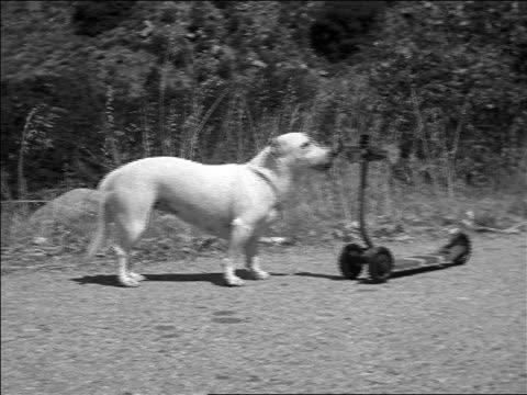 b/w 1952 dog lifting push scooter with mouth / tracking shot dog riding scooter on road / documentary - 1952 bildbanksvideor och videomaterial från bakom kulisserna