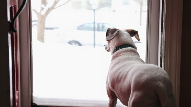 ms dog looking out storm door of house, watching snow fall / richmond, virginia, usa - aspettare video stock e b–roll
