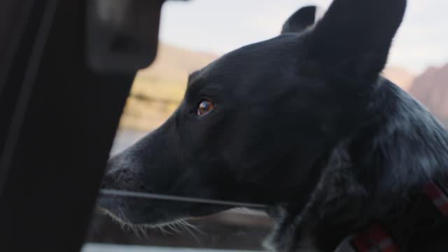 CU. Dog looks out car window on road trip.