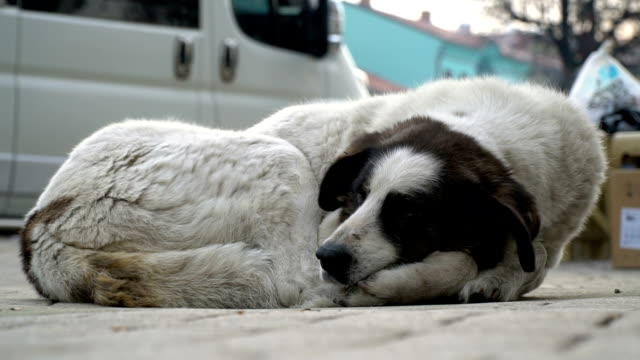 dog lying down on street - stray animal stock videos & royalty-free footage