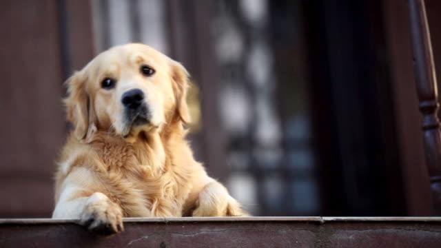dog lying down. - golden retriever stock videos & royalty-free footage