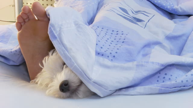 hd: dog lying in bed with owner - duvet stock videos & royalty-free footage