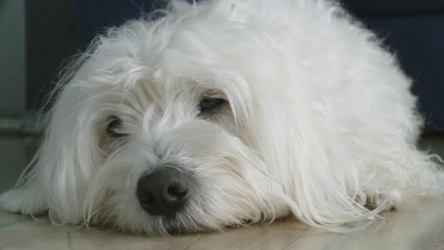 HD: Dog Lying Sleepy On The Floor