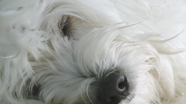 HD: Dog Lying Sleepy