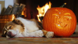 Dog napping near a carved pumpkin. Against the background of a burning fireplace. Autumn and Halloween