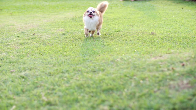 dog on a green lawn - puppy stock videos & royalty-free footage