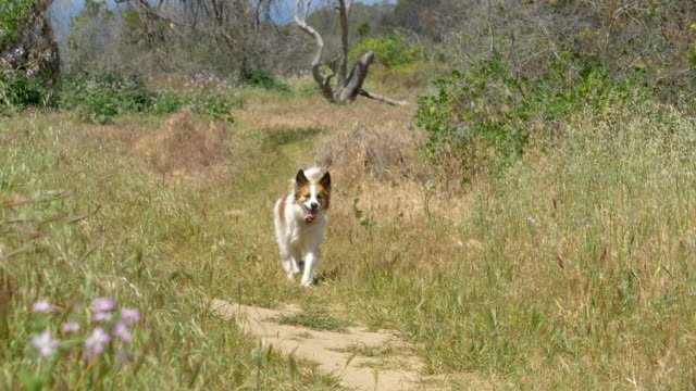 a dog on a hiking trail. - slow motion - palos verdes stock videos & royalty-free footage