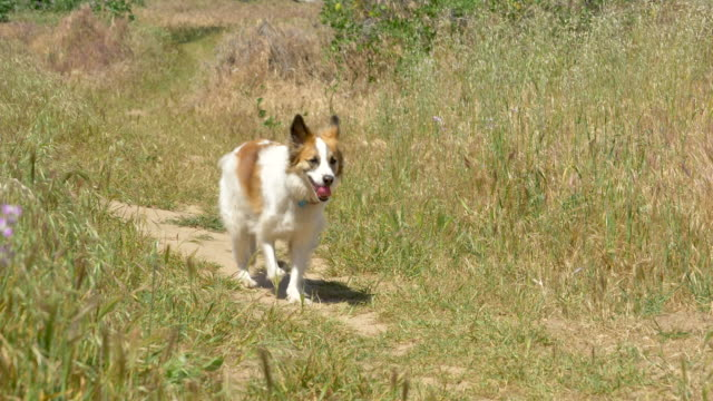 a dog on a hiking trail. - palos verdes stock videos & royalty-free footage