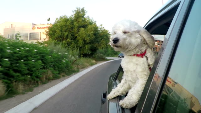dog on a road trip - bichon frise stock videos and b-roll footage