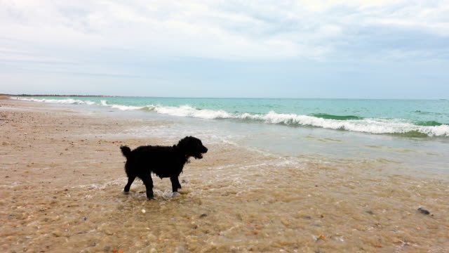 dog on beach - walking in water stock videos & royalty-free footage