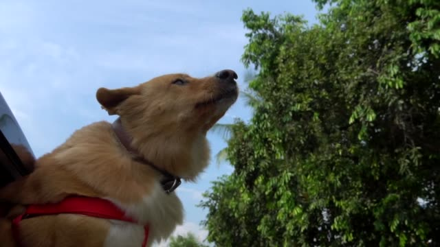 dog on car window a road trip - mouth open stock videos & royalty-free footage