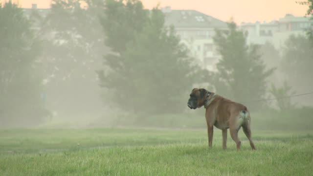 dog on morning walk - boxer dog stock videos & royalty-free footage