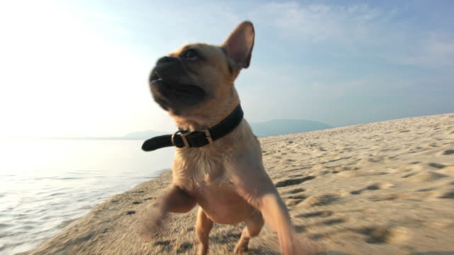 dog on the beach 4k - french bulldog stock videos and b-roll footage