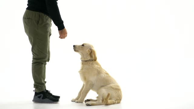 dog owner teaching her dog - obedience stock videos & royalty-free footage