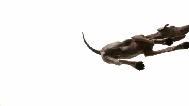 dog paces on glass floot - directly below stock videos & royalty-free footage