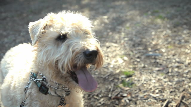 cu dog panting / los angeles, california, usa - pet leash stock videos and b-roll footage