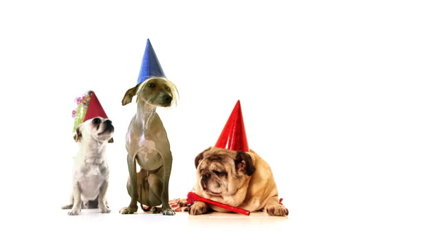 dog party - hat stock videos and b-roll footage
