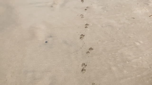 dog paw prints in the sand at the beach - paw print stock videos & royalty-free footage