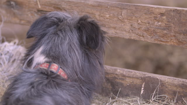 dog peers through a fence on a farm - animal pen stock videos & royalty-free footage