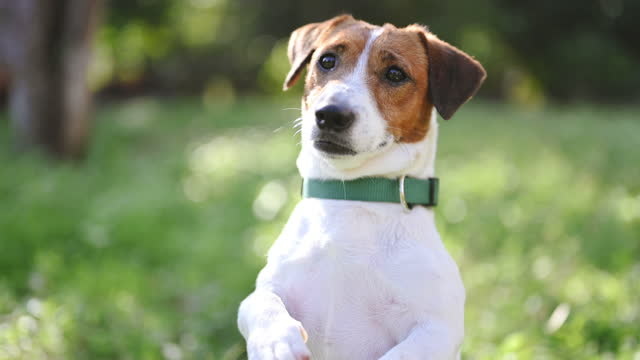 dog pets jack russell terrier dog waiting looking up standing in grass meadow with lookgin for food  in nature morning sunlight. pets concept. - jack russell terrier stock videos & royalty-free footage