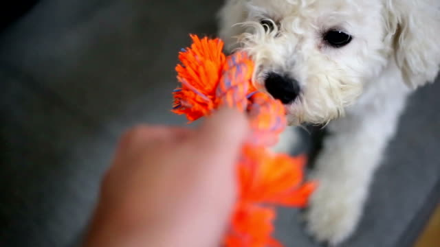 vídeos de stock e filmes b-roll de dog play game with rope toy in woman hand - corda
