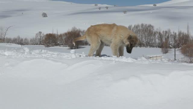 vídeos de stock e filmes b-roll de cão na neve brincando - selimaksan