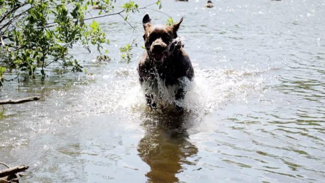 dog playing and running at pond slow motion - 突き出た鼻点の映像素材/bロール