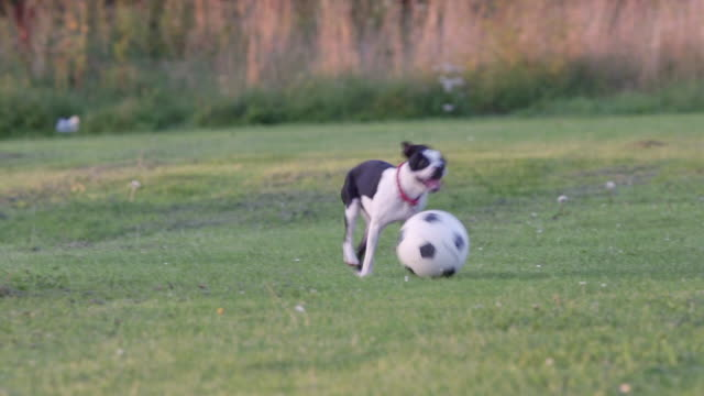 Dog playing football in a park