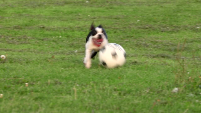 dog playing football in a park - pure bred dog stock videos and b-roll footage
