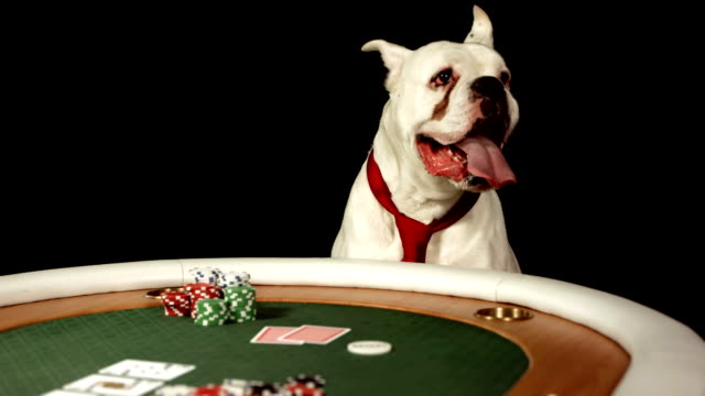 hd dolly: dog playing poker - boxer dog stock videos and b-roll footage