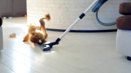 Dog playing with a brush of a working vacuum cleaner.