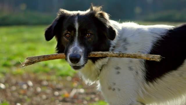 hund spielen mit einem stick - stab stock-videos und b-roll-filmmaterial