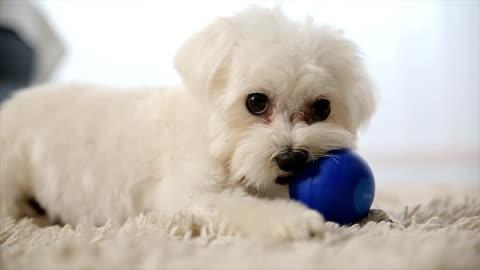 vidéos et rushes de chien jouant avec ballon - chiot