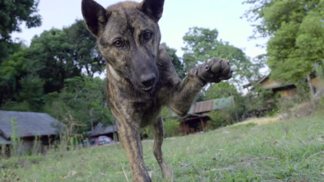 dog playing with camera cu shot. - bark stock videos & royalty-free footage
