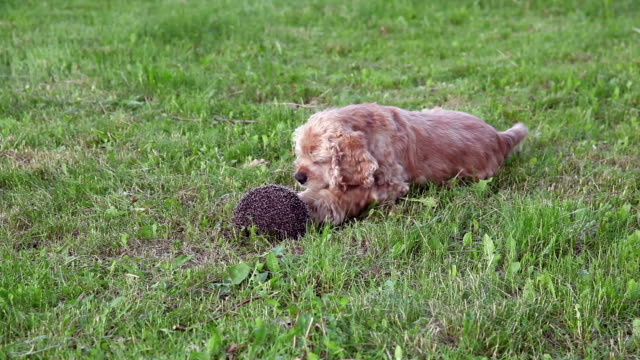 dog playing with curled up hedgehog - hedgehog stock videos & royalty-free footage