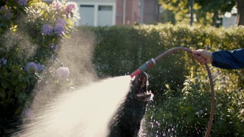 vídeos de stock, filmes e b-roll de dog playing with garden hose and water - molhado