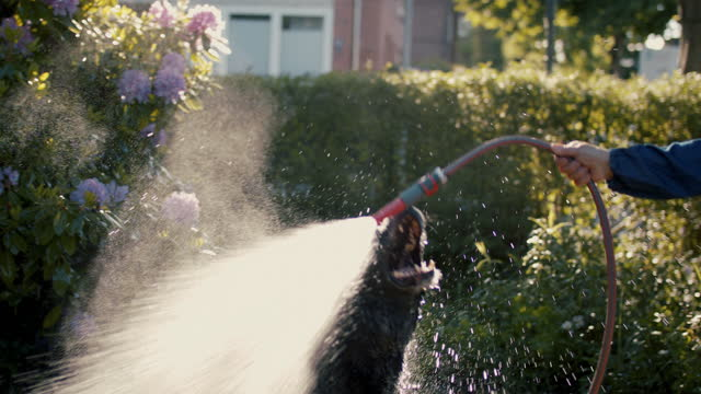 dog playing with garden hose and water - dog stock videos & royalty-free footage