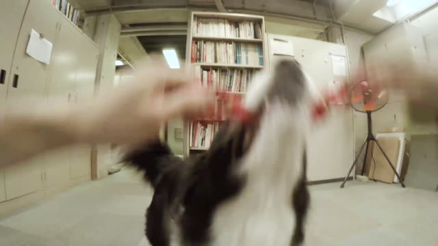 Dog playing with owner