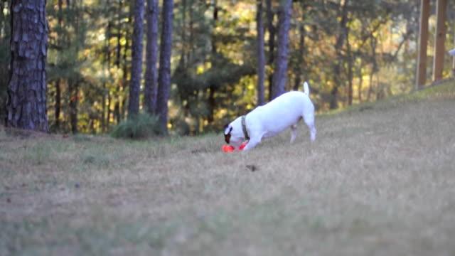 vidéos et rushes de chien jouant avec jouet - terrier jack russell