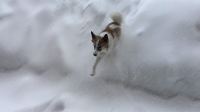 A dog plays in the snow at a ski resort.