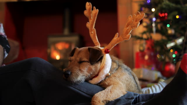 dog relaxing at christmas - aspettare video stock e b–roll
